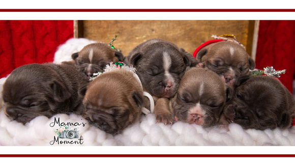 frenchie_puppies__MG_0480FB