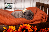 frenchie_puppies__MG_0426FB
